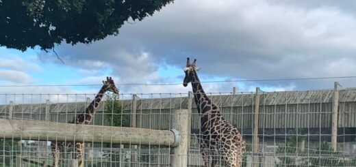 Giraffes at Yorkshire Wildlife Park