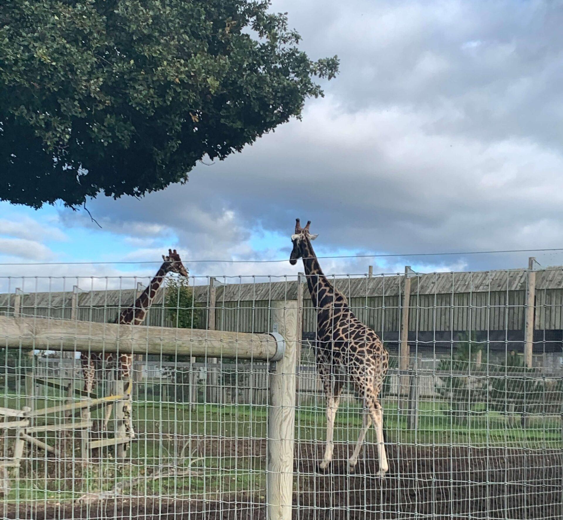 Giraffes at Yorkshire Wildlife Park
