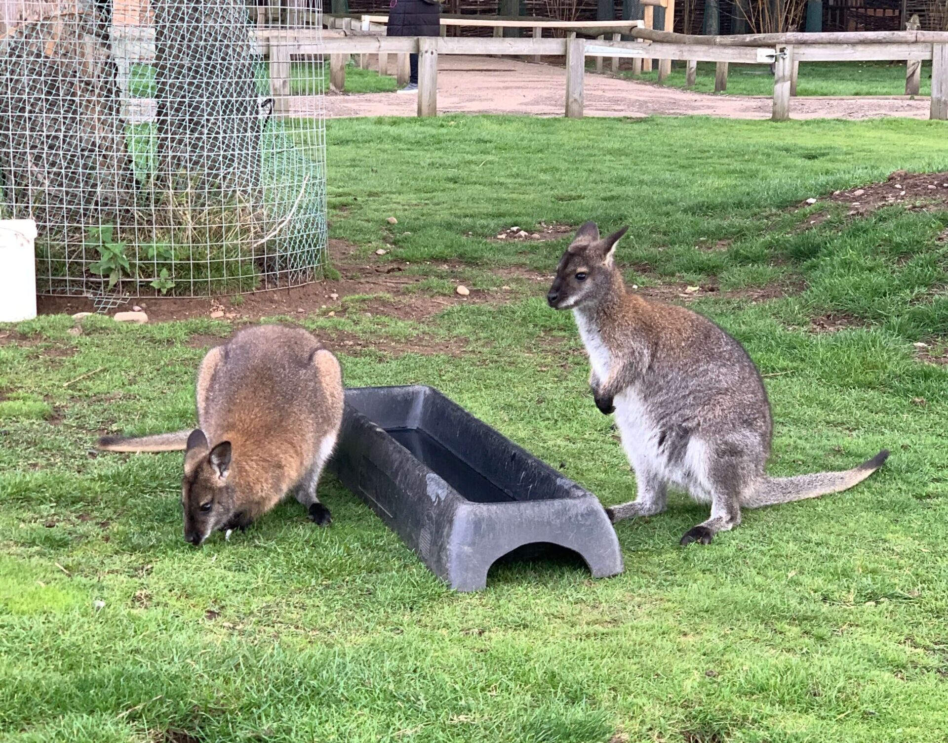 Wallaby Walkabout